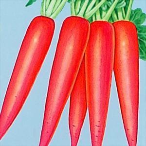 種 野菜たね ダイコン 赤長二十日大根 1袋(10ml入)/タネ たね 大根 だいこん