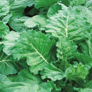 種 野菜たね 葉菜類 青汁ケール 1袋(5ml入)/タネ たね