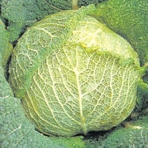 種 野菜たね キャベツ サボイキャベツ 1袋(3ml入)/タネ たね きゃべつ 葉菜
