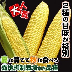 種 野菜たね トウモロコシ F1夏まきスイート 1袋(30ml入)/タネ たね とうもろこし コーン なんば|kokkaen
