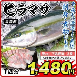 ヒラマサ 1尾分(約800g) 青森産 平政(姿・3枚おろし・下処理のいずれかお選びください)むつ漁港より直送 鮮魚 天然 国華園|kokkaen