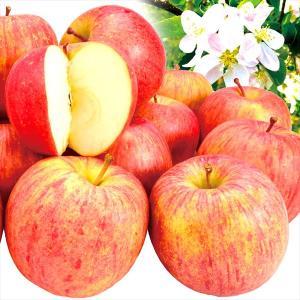 リンゴ 青森産 色むらちゃん サンふじ 10kg 1箱 送料無料 ご家庭用 ふじりんご サンふじ 訳あり【数量限定】|kokkaen