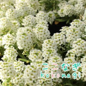 アリッサム(スイートアリッサム)ホワイト 白 苗 3ポットセット 9センチポット