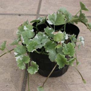 グレコマ(斑入りカキドウシ) 苗 9センチポット 3号  綺麗な斑の入った葉が美しい