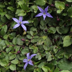 おとなエクボソウ    草丈は低く、ほふく茎が這うようにして広がります。  花はディープブルーの小花...