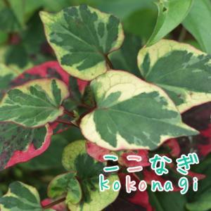 五色ドクダミ カメレオン 苗 9センチポット 3号 【05P23Aug15】  カラフルな色彩。シェ...