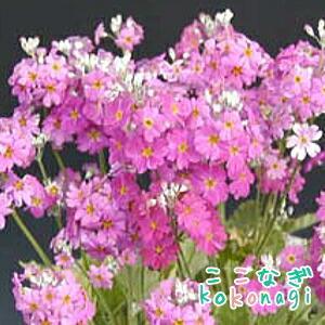 プリムラ マラコイデス うぐいすローズ 9センチポット 3号 桜草 さくらそう サクラソウ