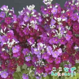 プリムラ マラコイデス うぐいすレッド 9センチポット 3号 桜草 さくらそう サクラソウ