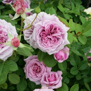 ロゼット咲きの花はライラック色で桃色を含み、気温が高いと桃色が強くなる。  大輪で10輪位の房咲きに...