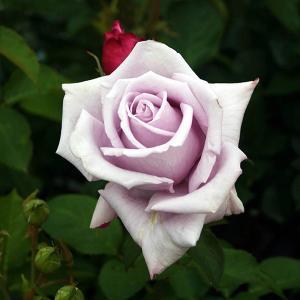 半剣弁高芯咲きの花はグレーを帯びた明るいライラック色で1輪もしくは3〜5輪程の房で咲く。 ブルー系の...