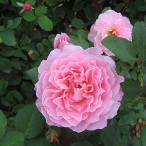 明るい桃色にややライラック色を帯びる花は3〜5輪位の房咲きとなる。 丸弁平咲きで花弁外側は波打つ。 ...