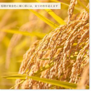 お米25kg 特別栽培米新潟産こしいぶき玄米 25kg/白米4.5kg×5 30年産 送料無料(一部地域を除く) うるち米|komeya|06