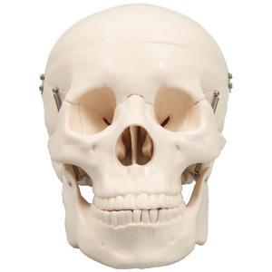 頭蓋骨模型 人間 骨 人骨 模型 標本 体 身体 しくみ 理科 科学 生物学 研究 学習 参考 授業 ドクロ ガイコツ フィギュア アーテック 9700|konan