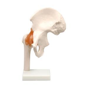 股関節模型 人間 骨 人骨 模型 標本 体 身体 しくみ 理科 科学 生物学 研究 学習 参考 授業 フィギュア アーテック 9703|konan