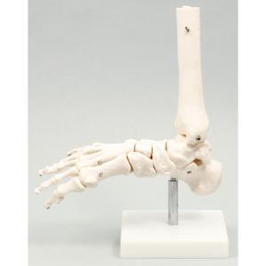 足関節模型 人間 骨 人骨 模型 標本 体 身体 しくみ 理科 科学 生物学 研究 学習 参考 授業 フィギュア アーテック 9706|konan