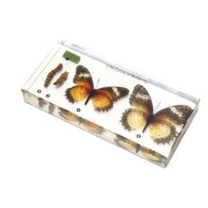 【昆虫樹脂標本】チョウの成長|konchu-hyouhon