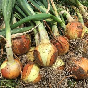 新玉ねぎ5kg(農薬・化学肥料不使用)|konohanafamily