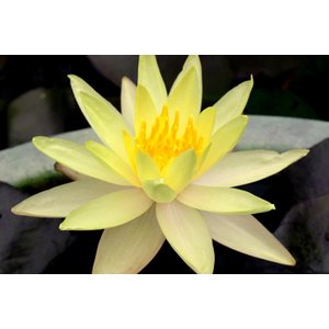 【睡蓮(スイレン)苗】黄色( ポット小1株)|konohanafamily