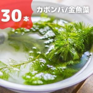 水草 カボンバ (バラ30本) 金魚藻 金魚やメダカ水槽に最適