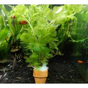 水草 カボンバ(カモンバ) ミニ素焼き鉢入り 3個 金魚藻 金魚やメダカ水槽に最適