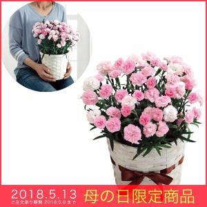 母の日 ギフト ピンク カーネーション 鉢植え バンビーノ 5号バスケット バニラの香り ボリューム感|kss-s