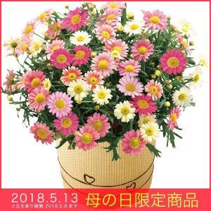 母の日 ギフト マーガレット 鉢植え いちごみるく花 かわいい ピンク ホワイト 2018|kss-s