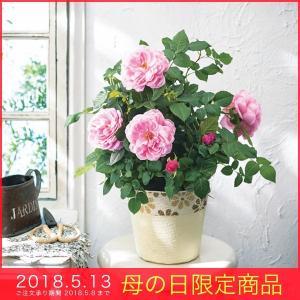 母の日 ギフト バラ 鉢植え アワラストサマー5号鉢 2018 プレゼント ピンク 薔薇|kss-s