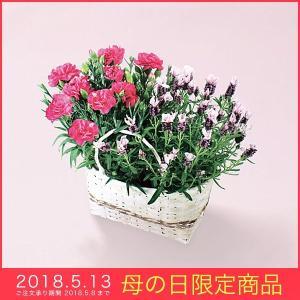 母の日 ギフト カーネーション ラブリー ラビットフレンチラベンダー ピンク 鉢植え 花 プレセント|kss-s