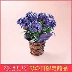 母の日 ギフト アジサイ 鉢植え ディープパープル紫 ムラサキ 5号鉢 花 プレゼント 2018|kss-s