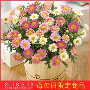 母の日 ギフト マーガレット (苺ミルク)ピンク 5号鉢 バスケット 鉢植え メッセージカード|kss-s