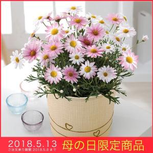 母の日 ギフト マーガレット (さくらべーる)ピンク 5号鉢 バスケット 鉢植え メッセージカード|kss-s