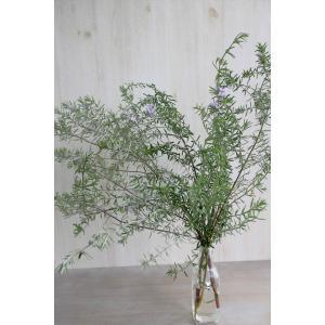 新鮮なウエストリンギアの葉枝(生花)です。 葉裏がシルバーにも見えるような白い色合いを持ち、葉の色合...