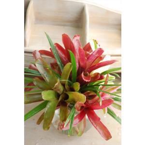 *ネオレゲリアの2度楽しめるブーケ*観葉植物としてずっと飾れるネオレゲリア|kugelfg