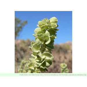 アトリプレックス・カネスケンス 種子 |  フォーウィング・ソルトブッシュ | 観葉植物 種子|kugelfg