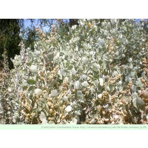 アトリプレックス・パキカウロス・ヌンムラリア 種子 |  オールドマン・ソルトブッシュ | 観葉植物 種子|kugelfg