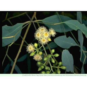 ユーカリ・インランド・レッドボックス 種子 |  クーリバガム | ハーブ木 樹木 種子|kugelfg