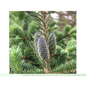 バルサムモミ 種子 |  ギレアドバルム | モミの木 針葉樹 コニファー 種子|kugelfg