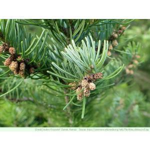 シベリアモミ 種子 | モミの木 針葉樹 コニファー 種子|kugelfg
