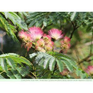 ネムノキ 種子 |  合歓木、シルクツリー | 樹木 花木 アルビジア 種子|kugelfg