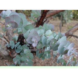 ユーカリ銀世界 種子 | ハーブ木 樹木 種子