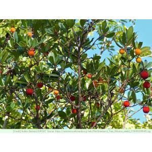イチゴノキ 種子 |  アイリッシュストロベリーツリー | 花木 低木 種子|kugelfg