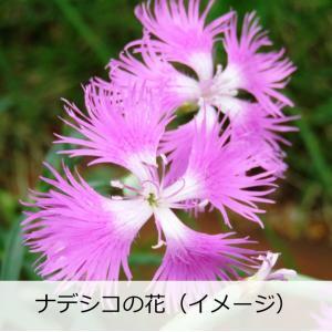 日本酒 フルーティー 冷酒 原田 しぼりたて本生 花酵母造り 720ml なでしこ|kumanonamida|09