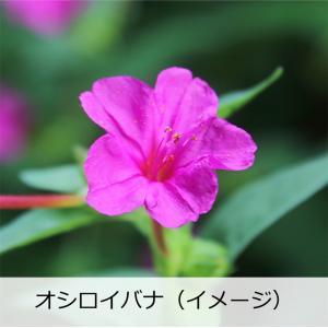 日本酒 フルーティー 冷酒 天吹 純米大吟醸 本生 春色 720ml オシロイバナ|kumanonamida|06