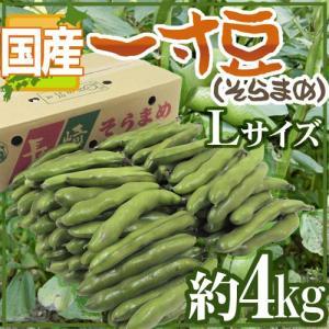 """【送料無料】九州・和歌山産他 """"一寸豆(そら豆)"""" 大粒Lサイズ 約4kg【予約 4月以降】"""