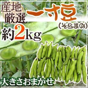 """【送料無料】九州・和歌山産他 """"一寸豆(そら豆)"""" 大きさおまかせ 約2kg【予約 4月以降】"""