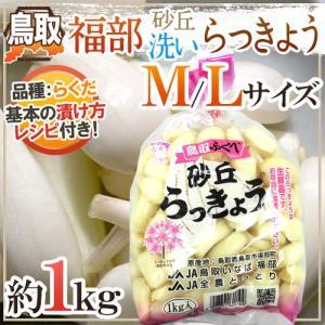 """洗いらっきょう 鳥取 JAいなば 福部産 """"砂丘らっきょう"""" M/Lサイズ 約1kg《5キロ購入で送料無料》【予約 6月中旬以降】 kurashi-kaientai"""