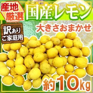 """【送料無料】""""完熟国産レモン"""" 訳あり 約10kg 大きさおまかせ 産地厳選【予約 8月以降】 kurashi-kaientai"""