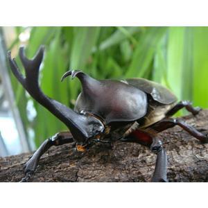 国産カブトムシ幼虫ペア★そろそろサナギになります★オス幼虫とメス幼虫をセットでお届けします!|kuwa-max