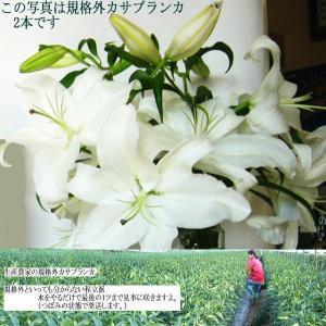 花 カサブランカ ユリ 切花 規格外 20本(花束 5本x4)(4〜7、8輪)生産 農家 朝取り発送|kuwaharasyoten