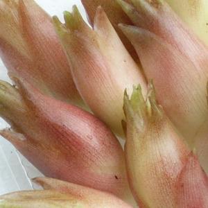 茗荷 ミョウガ 朝採り みょうが  500g 採りたて発送 新潟産|kuwaharasyoten